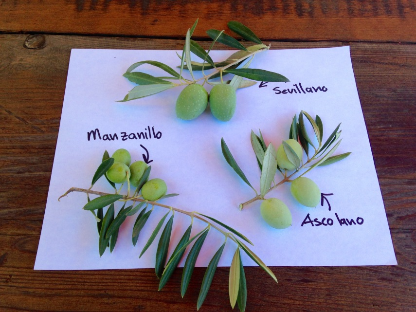 3 Common Traditionally Planted Olive Varieties in California